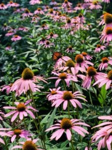 Monarch Butterfly and Coneflowers