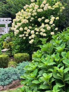 Why Hydrangeas Refuse to Bloom
