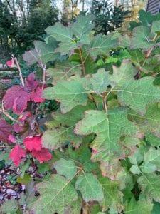 Oak Leaf Hydgrangea
