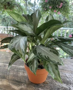 Chinese Evergreen is an Easy Care Plant that Purifies the Air
