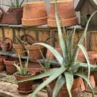 How to Propagate Aloe Plants