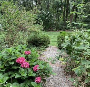 Hydrangea on garden path