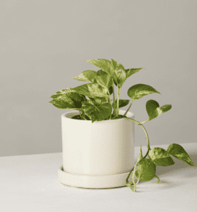 Easy Care Houseplants that Purify the Air