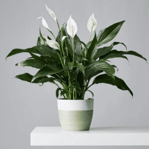 Peace Lily is an Easy Care Plant that Purifies the Air
