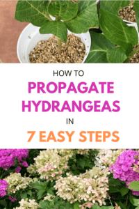 How to Propagate Hydrangeas in 7 Easy Steps