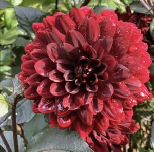 Dahlias are a late blooming summer flower