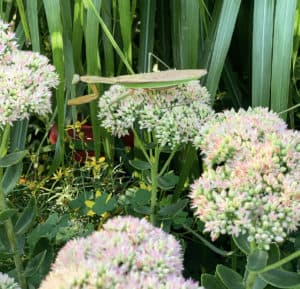 Prqying Mantis on Sedum Autumn Joy