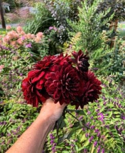Dahlias from the cutting garden - How to Dry Flowers