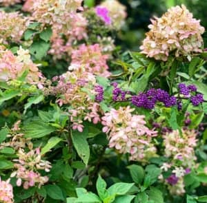 Limelight Hydrangeas and Beautyberry are the best fall garden flowers