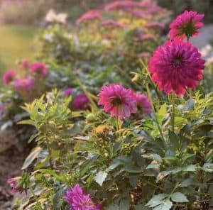 Dahlias - How to Dry Flowers