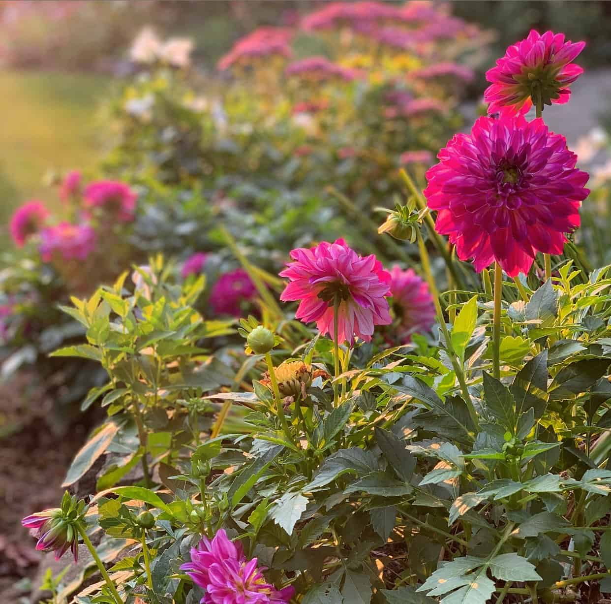 Dahlias are the best fall garden flowers